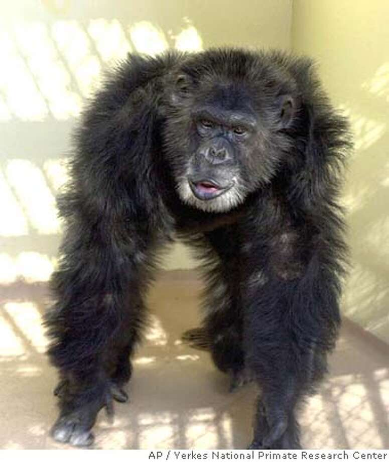 Clint, a chimpanzee whose DNA was used to sequence the chimpanzee genome, is seen in a handout photo from Yerkes National Primate Research Center. Scientists have deciphered the DNA of the chimpanzee, the closest living relative of humankind. (AP Photo/Yerkes National Primate Research Center) HANDOUT PHOTO FROM YERKES NATIONAL PRIMATE RESEARCH CENTER.