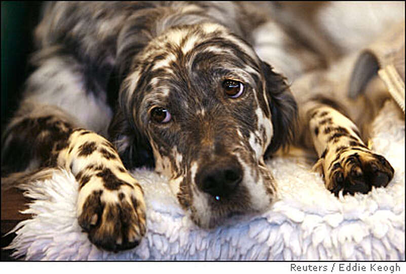 An English Setter waits for judging during the 104th Crufts dog show in Birmingham, central England,