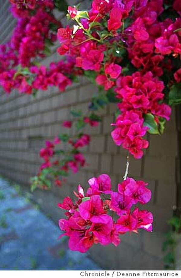 Nothing staid about bougainvillea when you want screaming color photo deanne fitzmaurice bougainvillea mightylinksfo