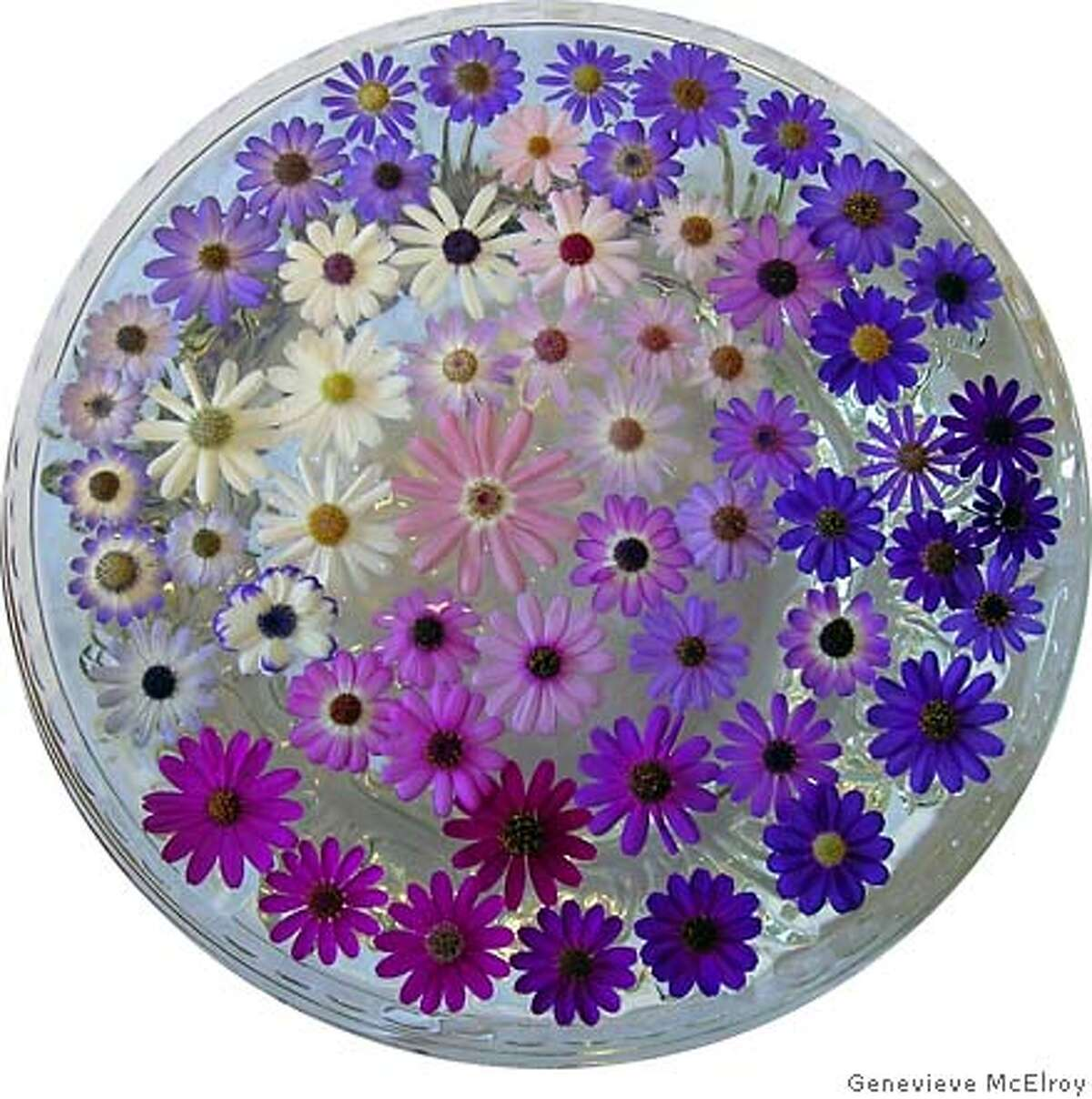 An arrangement of cineraria blooms in various colors and sizes floats in a bowl of water. Photo by Genevieve McElroy