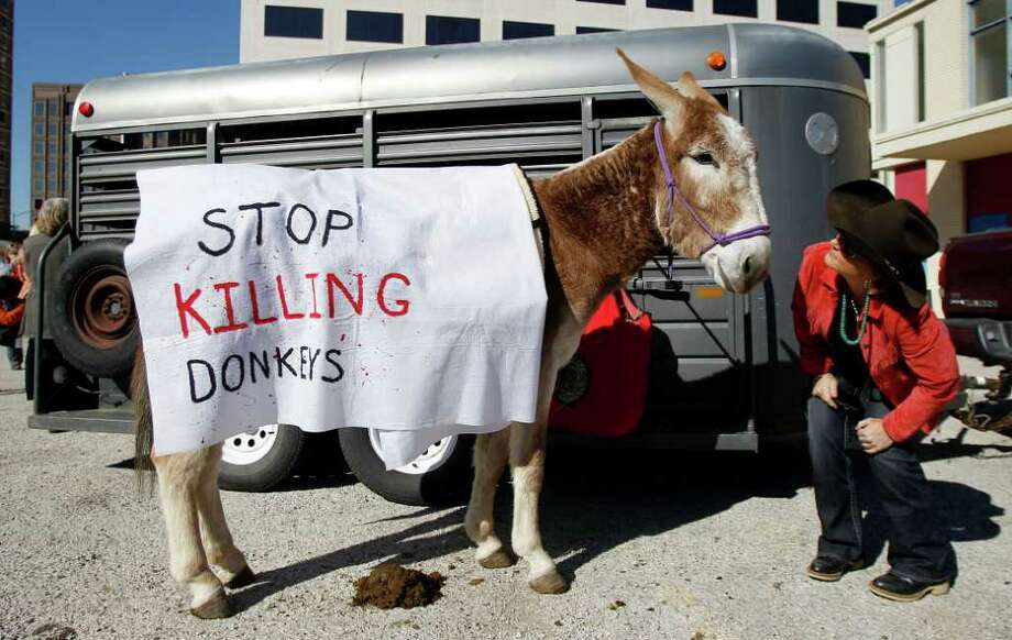Protestors prepare donkeys to deliver a petition with 100,000 signatures asking Gov. Rick Perry to stop Texas Parks and Wildlife from hunting wild burros in Big Bend Ranch State Park,  Wednesday, Jan. 18, 2012, in Austin, Texas. The state agency considers the 300 wild donkeys that live in the park to be a destructive invader, but the Wild Burro Protection League considers the burros a heritage species because it played such an important role in human settlement of the area. (AP Photo/Eric Gay) Photo: Eric Gay, Associated Press / AP