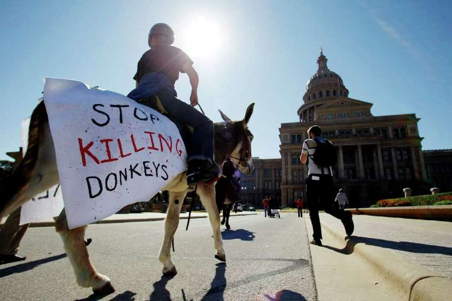 Jennifer Garretson of Waco rides a donkey to help deliver a petition with 100,000 signatures asking Gov. Rick Perry to stop Texas Parks and Wildlife from hunting wild burros in Big Bend Ranch State Park, Wednesday, Jan. 18, 2012, in Austin, Texas. The state agency considers the 300 wild donkeys that live in the park to be a destructive invader, but the Wild Burro Protection League considers the burros a heritage species because it played such an important role in human settlement of the area. (AP Photo/Eric Gay) Photo: Eric Gay, Associated Press / AP