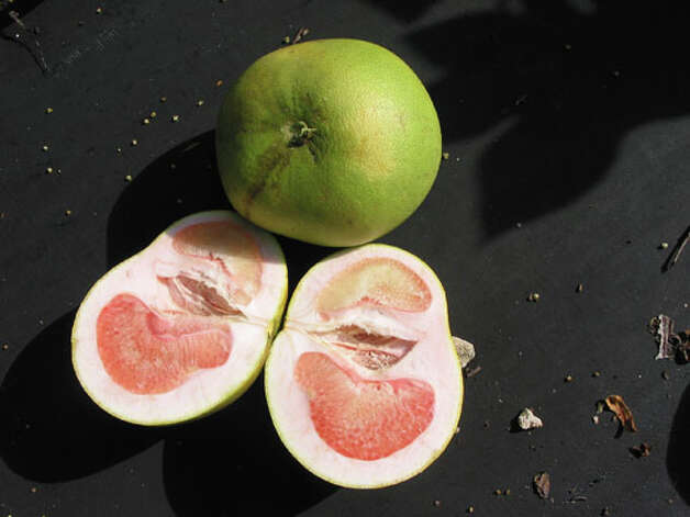 Ag extension officials are concerned about a deadly plant disease, citrus greening disease, that could be moving up Mexico and getting close to the Valley's lush citrus orchards. The disease, citrus greening disease, already has killed vast acres of citrus plants in Florida and other states. These pictures are all from Florida.  Image of lopsided grapefruit affected by the disease. Photo: COURTESY PHOTO / courtesy of Florida Department of Agriculture and Consumer Services
