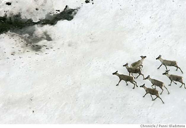 ALASKA_792_PG.JPG Caribou on snow in ANWR  The San Francisco Chronicle, Penni Gladstone  Photo taken on 6/16/05, in ANWR, Alaska, Photo: Penni Gladstone