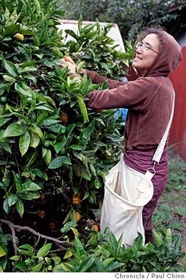 Ela Harrison picks oranges for Village Harvest, a nonprofit suburban cooperative for the hungry which harvests hundreds of pounds of unwanted backyard fruit from homes on 8/13/05 in Berkeley, Calif.  PAUL CHINN/The Chronicle Photo: PAUL CHINN