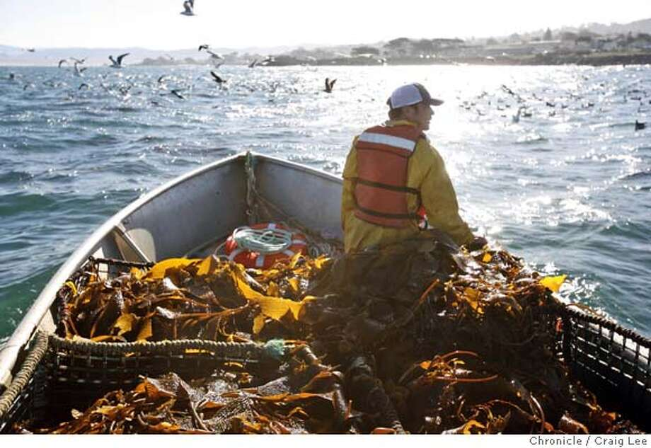 ABALONE31_173_cl.JPG  Photo for story on the Monterey Abalone Company, which raises abalone in cages in the Monterey Bay. Art Seavey and Trevor Fay are the owners. Photo of Alfonso Ruiz out in a boat in the Monterey Bay riding back to the dock after gathering kelp, food that the abalone eat.  Event on 1/8/07 in Monterey. photo by Craig Lee / The Chronicle Photo: Photo By Craig Lee