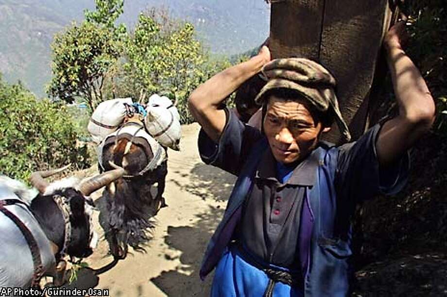 **ADVANCE FOR MONDAY, MAY 26** ONE OF TEN PHOTOS BY GURINDER OSAN** A Nepalese porter rests while carrying a heavy load of timber, as yaks carrying loads pass by, near Lukla, Nepal, May 9, 2003. Not as celebrated as their sherpa brothers, porters from lower areas of the Khumbu valley ferry heavy loads for survival in an economically backward region. (AP Photo / Gurinder Osan) Photo: GURINDER OSAN