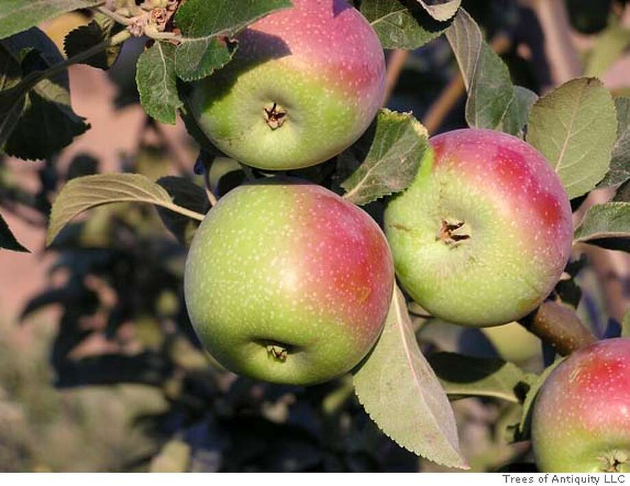 'White Pearmain' apples. Photo courtesy of Trees of Antiquity LLC