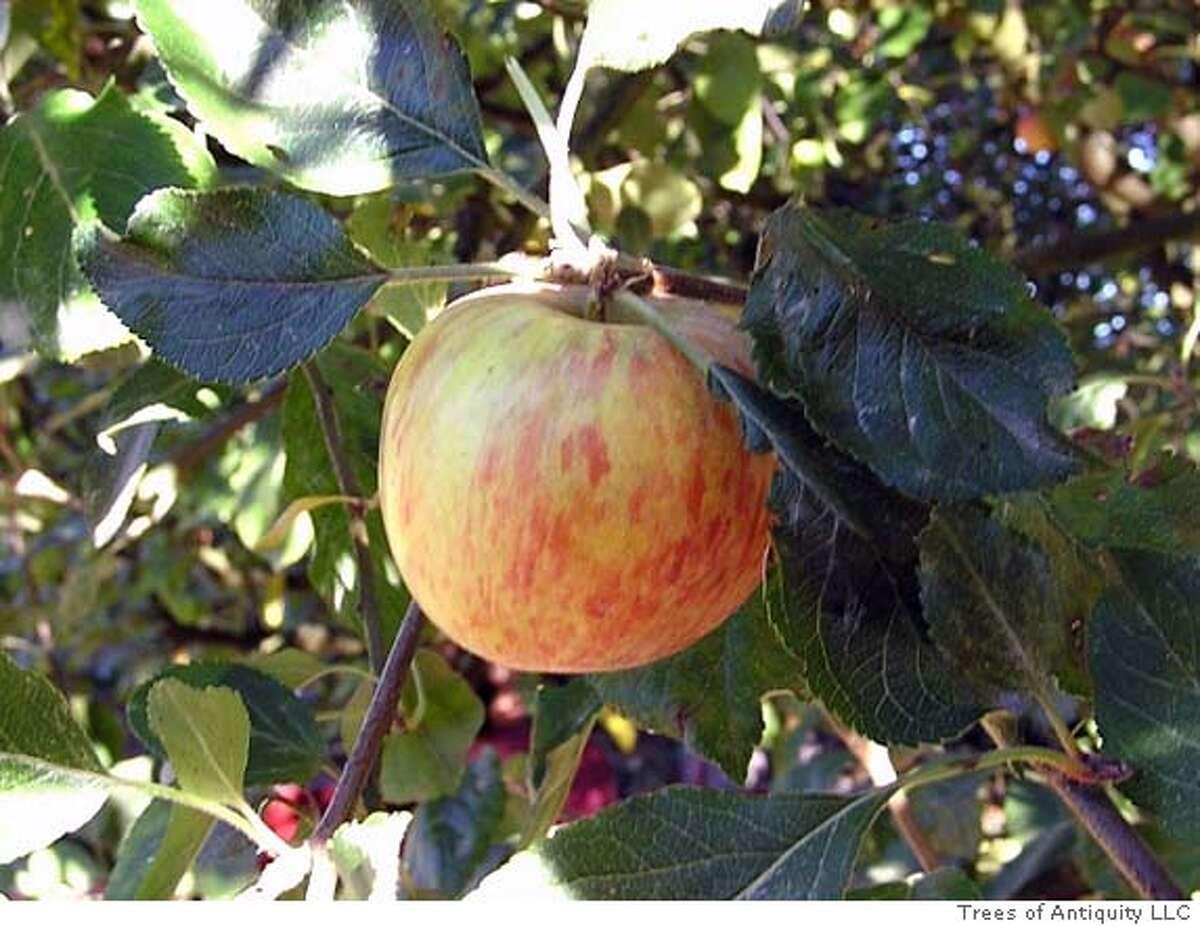 'Cox's Orange Pippin' apple. Photo courtesy of Trees of Antiquity LLC