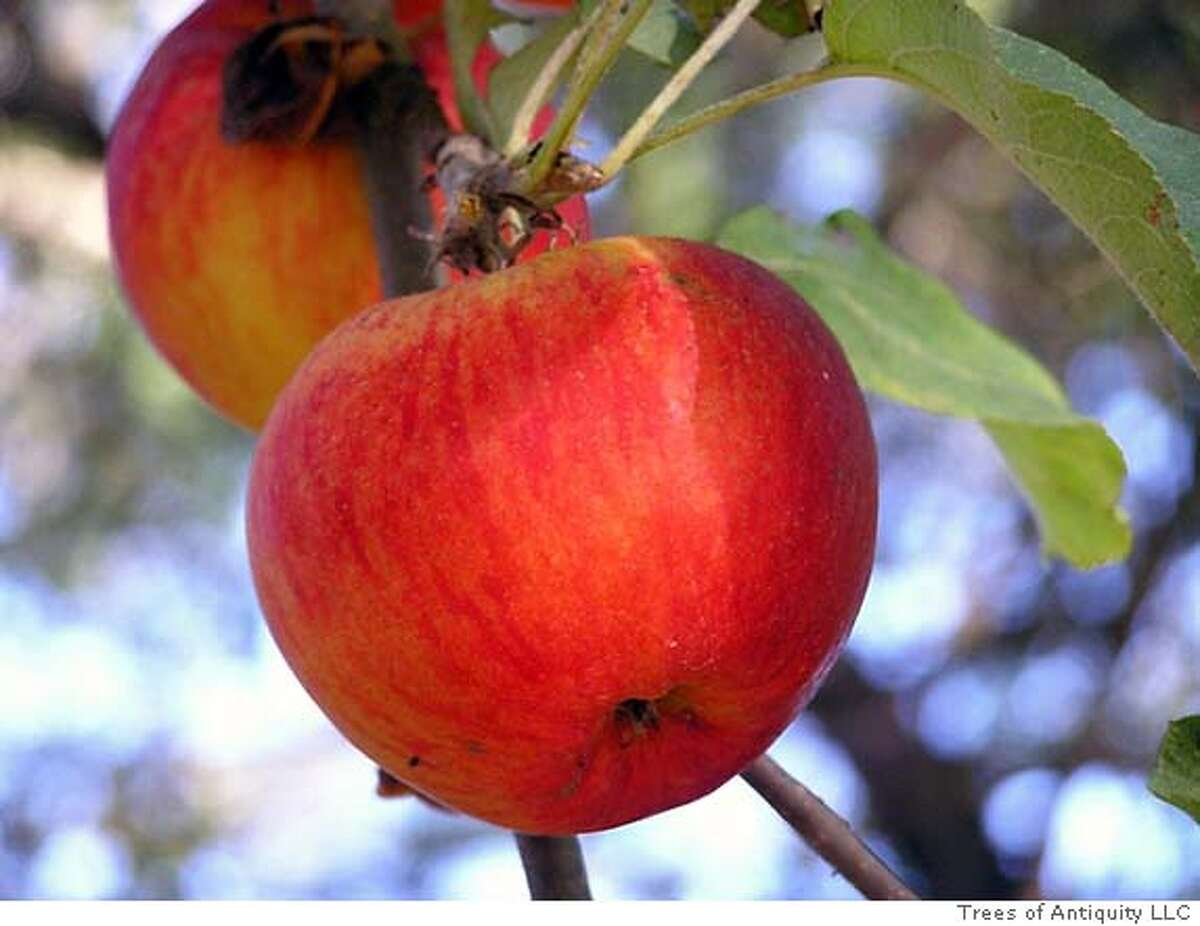 'Spitzenburg' apples. Photo courtesy of Trees of Antiquity LLC