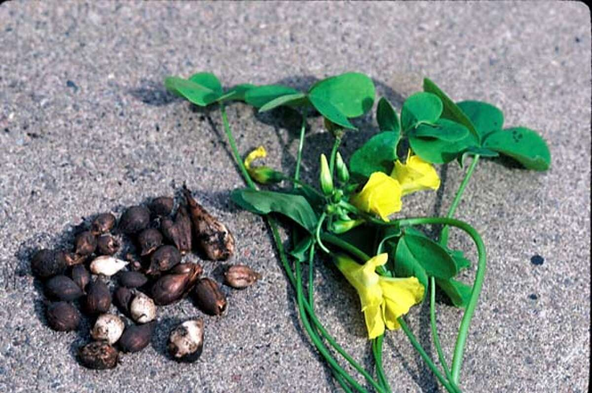 Oxalis pes-caprae, or Cape oxalis, and its bulbs. Credit: Pam Peirce