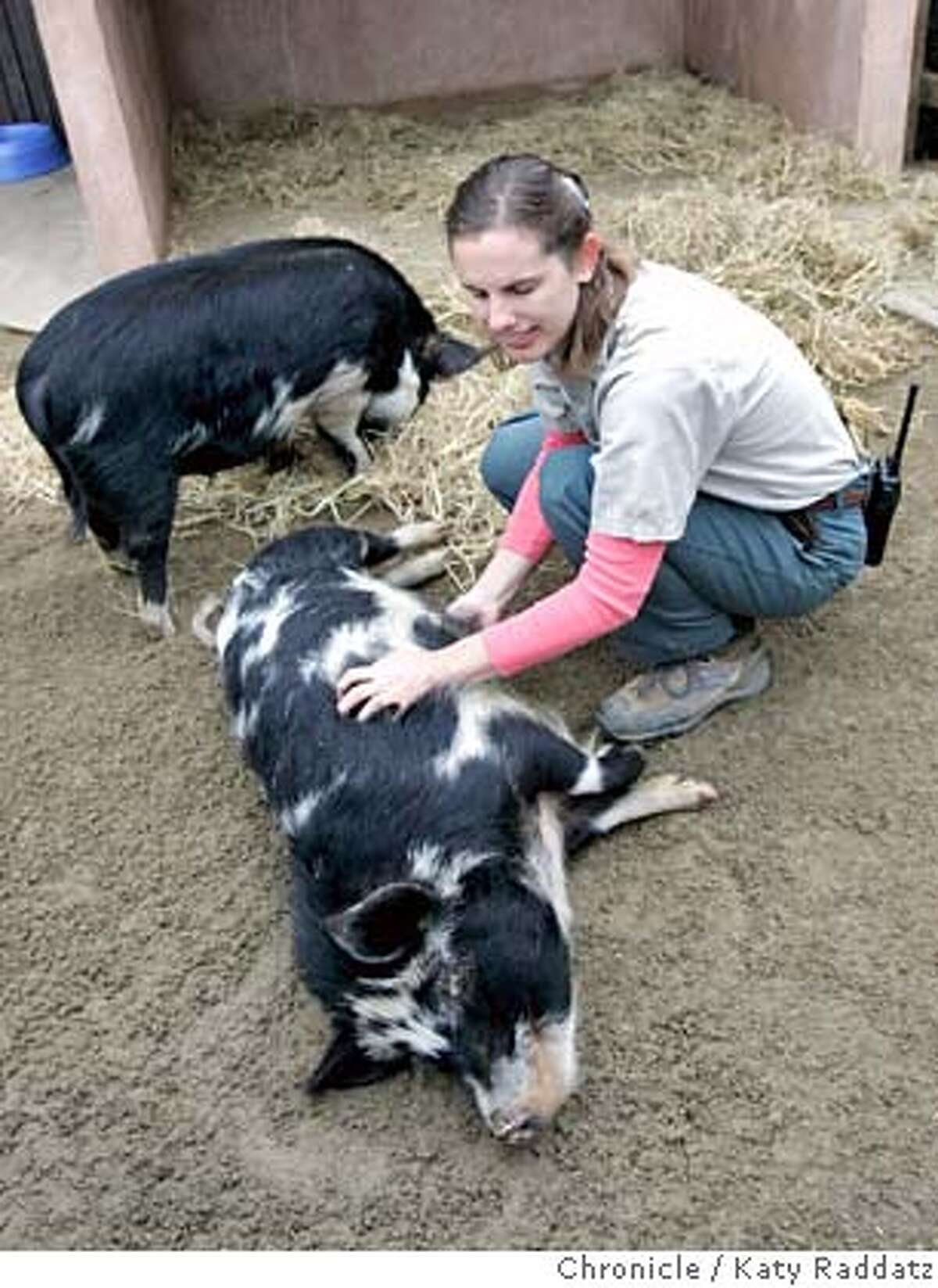 PIGS_010_RAD.jpg SHOWN: Intern Elizabeth Kitazono pets Tiki as he lays down on command. Kai is the pig standing. The kune kune pigs at the Children's Zoo, inside the San Francisco Zoo. They are cute and smart and are being written about in conjunction with the Lunar New Year. Writer is Pat Yollin These pictures were made on Wednesday, Feb. 7, 2007, in San Francisco, CA. (Katy Raddatz/SF Chronicle) **kune kune, Kitazono, Tiki, Kai Mandatory credit for the photographer and the San Francisco Chronicle. No sales; mags out.