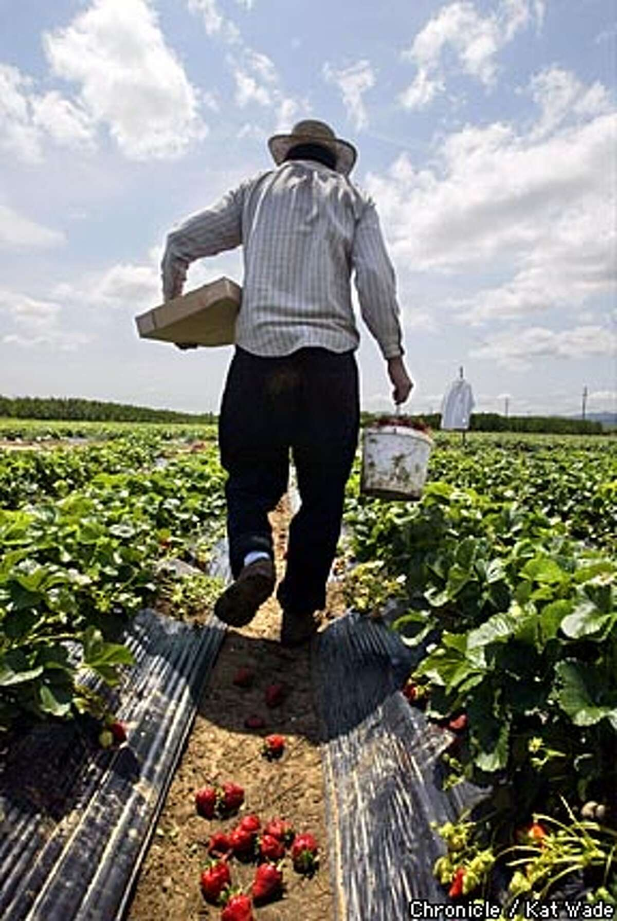 Felimon (CQ) Perez carries freshly picked strawberries from the Chan Farm's strawberry field on Walnut Blvd, where the public can come to pick their own berries. Bay Area farms that are open to the public are becoming similar to wineries, a gourmet outing with, u-pick fruit, public tours and retail on 05/05/03 in Brentwood. KAT WADE / The Chronicle