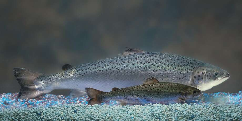 This photo courtesy of AquaBounty Technologies, Inc. shows a size comparison of an AquAdvantageAE Salmon (background) vs. a non-transgenic Atlantic salmon sibling (foreground) of the same age. US authorities have begun to consider approval for the first time the sale of genetically engineered salmon, a move that some say could open the door to more transgenic animals on American dinner tables.A US Food and Drug Administration panel has set a hearing for September 19-20 to consider a proposal by Massachusetts-based AquaBounty Technologies for production and sale of a new Atlantic salmon with a growth hormone gene from the Chinook salmon that allows it to grow faster. Photo: Barrett & Mackay, AFP/Getty Images