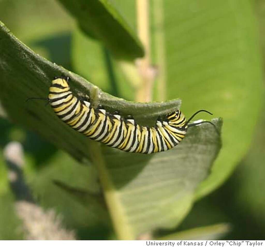gardeners save the day as butterfly habitats disappear monarchs