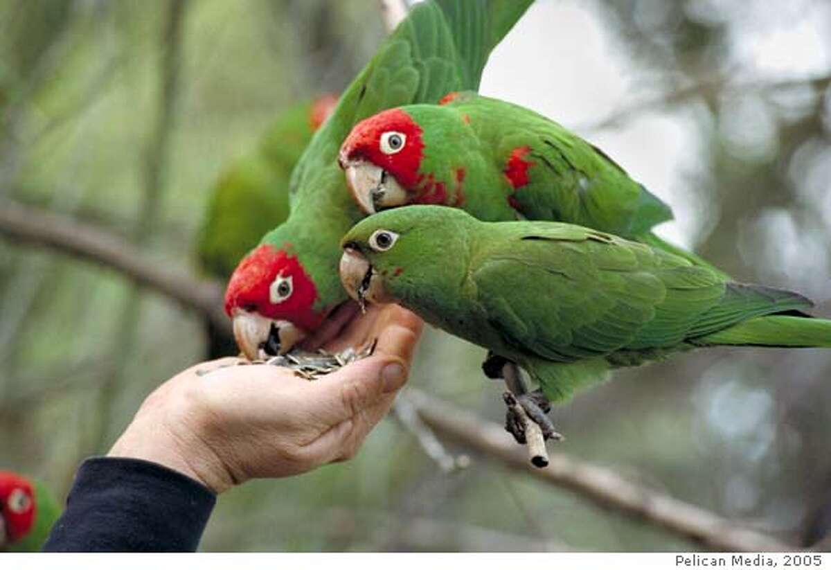 The hand of Mark Bittner feeding Cherry Headed Conure Parrots in WILD PARROTS OF TELEGRAPH HILL. Photo courtesy of Pelican Media.