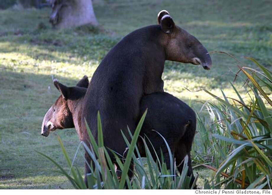 TAPIRS  Howie and Maggie, two new mountain tapirs at the sf zoo try mating. That's Howie on top.  Event on 12/28/06 in San Francisco.  Penni Gladstone / The Chronicle MANDATORY CREDIT FOR PHOTOG AND SF CHRONICLE/NO SALES-MAGS OUT Photo: Penni Gladstone