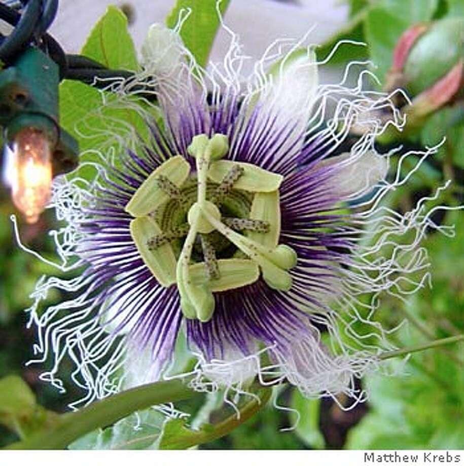 Passion fruit flower. Credit: Matthew Krebs Photo: Matthew Krebs