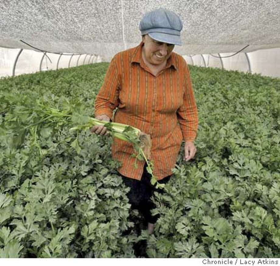 Anita Tucker, walks through her greenhouse of celery in Gush Katif, June 9, 2005, in Gaza. Tucker says forcing her family to leave Gaza does nothing to help Israel or the Palestinians. In her eyes, the Palestinian political establishment is dominated by outsiders and Islamists who will not stop fighting until they breach the walls of Jerusalem. Photographer Lacy Atkins Photo: LACY ATKINS