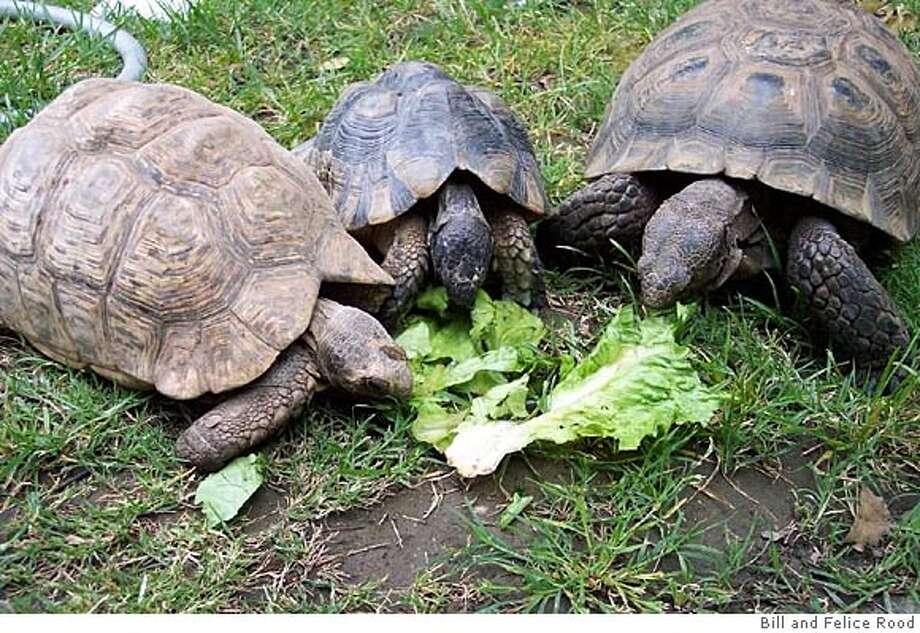 The three turtles eating lettuce are a Leopard, Marginata and California Desert Tortoise (their names are Fernando, Joltin' Joe and Oscar). Photo Credit: Bill and Felice Rood Photo: Bill And Felice Rood