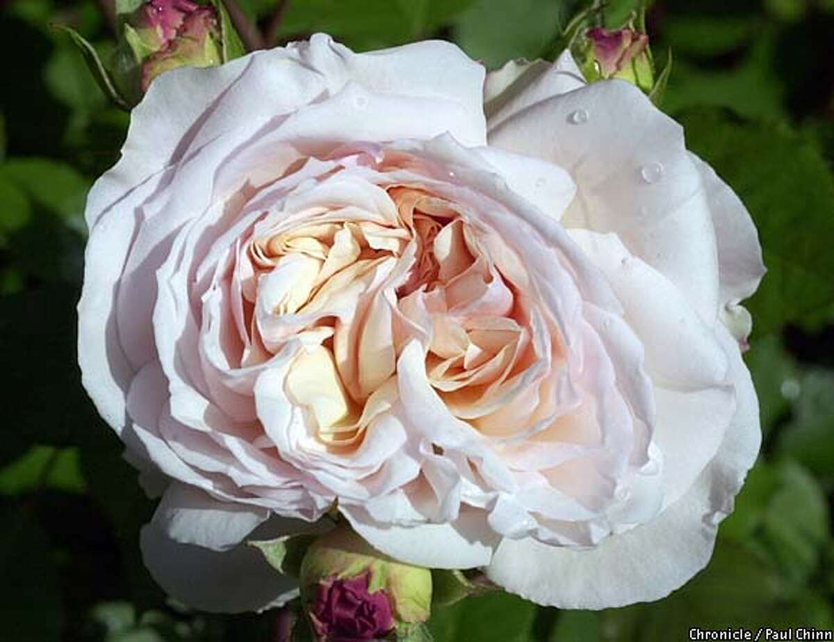 """A """"Gruss An Achen"""" rose. Rose grower martha Acosta has written an article about heritage roses and has several types growing in her Richmond garden. PAUL CHINN/SF CHRONICLE"""
