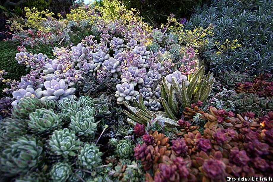 In Bill Merrill's front landscape is a variety of specimen from several families including the Agavaceae, Crassulaceae, and Euphorbiaceae--(yellow flowers)Echeveria, (starfish flower in middle looking like fingers) Crassula. (PHOTOGRAPHED BY LIZ HAFALIA/THE SAN FRANCISCO CHRONICLE) Photo: LIZ HAFALIA