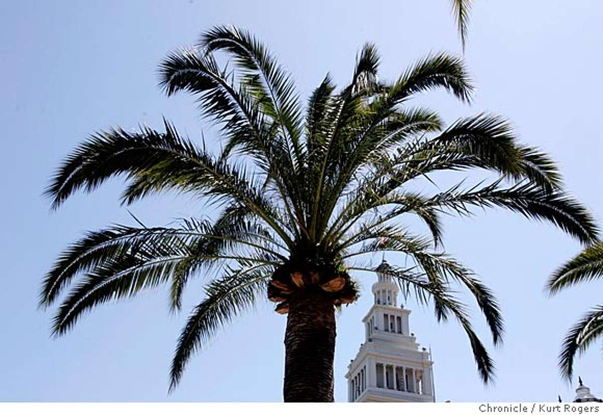 palm trees that do well in the Bay Area. One is the Canary Island date palms that lines the Embarcadero in San Francisco. Just try to get a nice shot that shows the trees in their setting. One is the Mexican fan palm. The Clarion Hotel in Millbrae needed to move four Mexican fan palms to make way for parking, so it donated them to the city for the median strip along Millbrae Avenue 6/7/05 in San Francisco,CA. KURT ROGERS/THE CHRONICLE