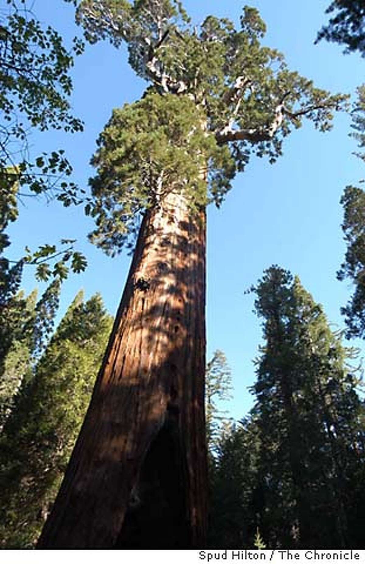 One of the giant sequoia trees in Grant Grove in Kings Canyon National Park. Grant Grove was protected as Gen. Grant National Park in 1890 in the same bill that made Yosemite a national park. Kings Canyon National Park on 6/15/05. Spud Hilton / The Chronicle
