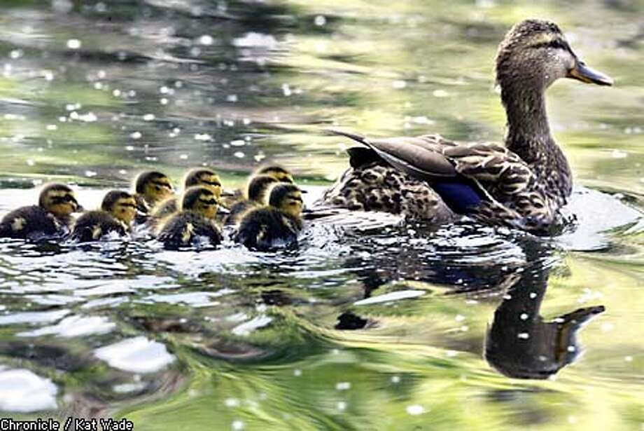 A mother duck leads her 8 babies around the reserve at Heather Farms Park in Walnut Creek Spring-time showers threaten the Bay Area April 22, 2003. SAN FRANCISCO CHRONICLE PHOTO BY KAT WADE Photo: KAT WADE