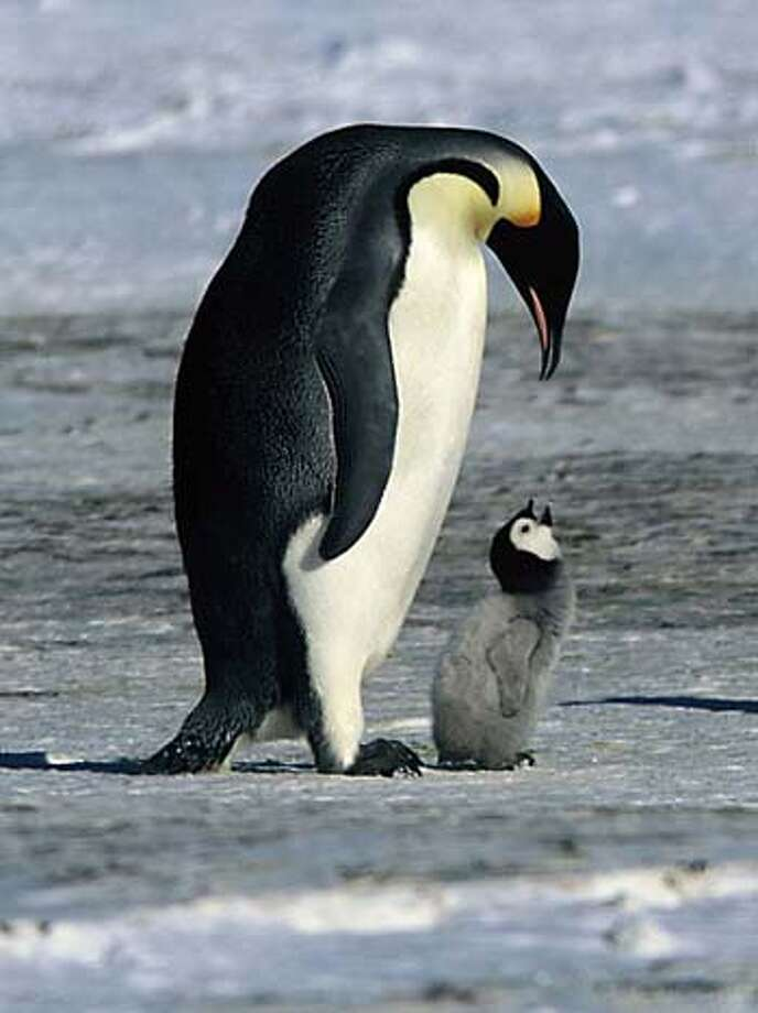 """An Emperor penguin and its young are shown in a scene from the new documentary film """"March of the Penguins"""" from Warner Independent Pictures in this undated publicity photograph. With box offices receipts down for the year and fans blaming boring remakes and sequels, three documentaries that are part of a new style of non-fiction films are winning rave reviews for turning real people -- and in one case, penguins -- into movie stars. """"Murderball,"""" """"Rize,"""" and """"March of the Penguins"""" are more like Hollywood feature films, their makers and promoters say, structured with tension, conflict and resolution. To match feature Leisure-Documentaries REUTERS/J�r�me Maison/Bonne Pioche Productions/Alliance De Production Cin�matographique/Handout Photo: HO"""