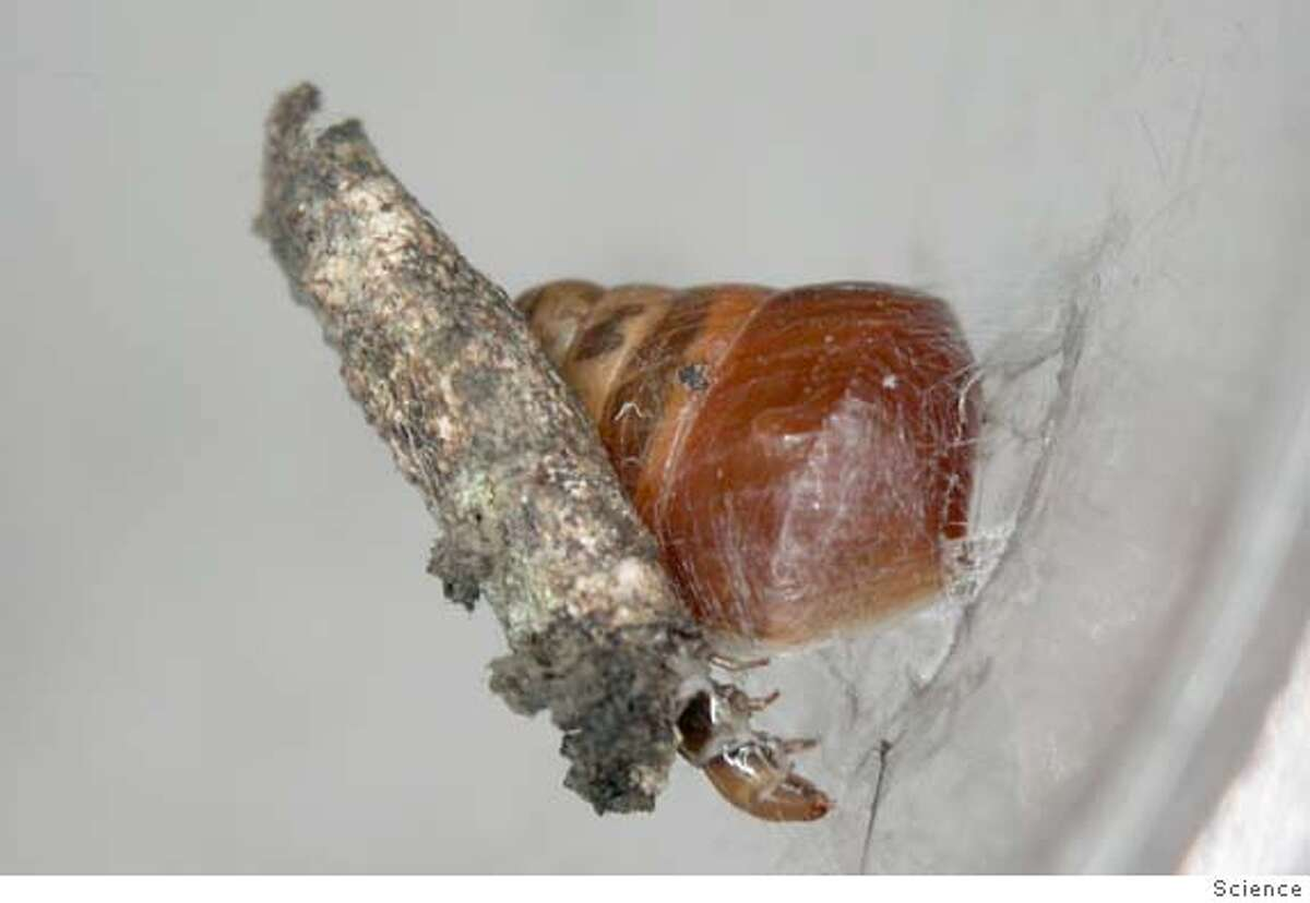 The case bearing caterpillar of this new species of Hyposmocoma binds its snail prey to a leaf with silk restraints. This is the only snail-eating lepidopteran in the world and the first record of a caterpillar using silk to restrain prey. Credit: Science Ran on: 07-23-2005 This caterpillar discovered by a former UC Berkeley biologist in Hawaii seems to have learned a thing or two from ole Mr. Spider -- namely, how to use its silk to trap prey.