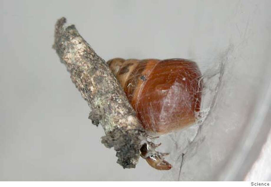 The case bearing caterpillar of this new species of Hyposmocoma binds its snail prey to a leaf with silk restraints. This is the only snail-eating lepidopteran in the world and the first record of a caterpillar using silk to restrain prey. Credit: Science Ran on: 07-23-2005  This caterpillar discovered by a former UC Berkeley biologist in Hawaii seems to have learned a thing or two from ole Mr. Spider -- namely, how to use its silk to trap prey. Photo: Science