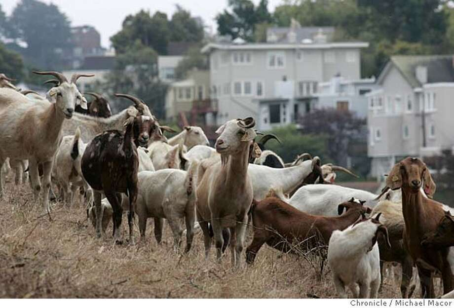 goats_001_mac.jpg Brians Dodds of Coalinga, Ca. has moved some 140 goats onto a hillside surrounding Laguna Honda Hospital in San Francisco, to begin a brush and grass reduction plan clearing the area of overgrowth. Sycamore Farms, begins to clear some 12 acres of land that should take 3-4 weeks. More than 1,000 goats are expected to join forces by Friday. (Brian Dodds-831-345-6691 cell) 7/20/05 San Francisco, Ca Michael Macor / San Francisco Chronicle Mandatory Credit for Photographer and San Francisco Chronicle/ - Magazine Out Photo: Michael Macor