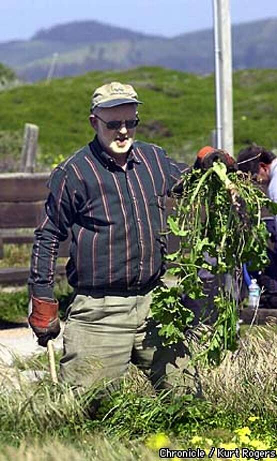 Ray Bertarnt works on lulling weeds .  Roche of Palo Alto a Pharmaceutical research center had its employees removing non-native plants from Francis Beach in Half Moon Bay .Photo By Kurt Rogers Photo: Kurt Rogers