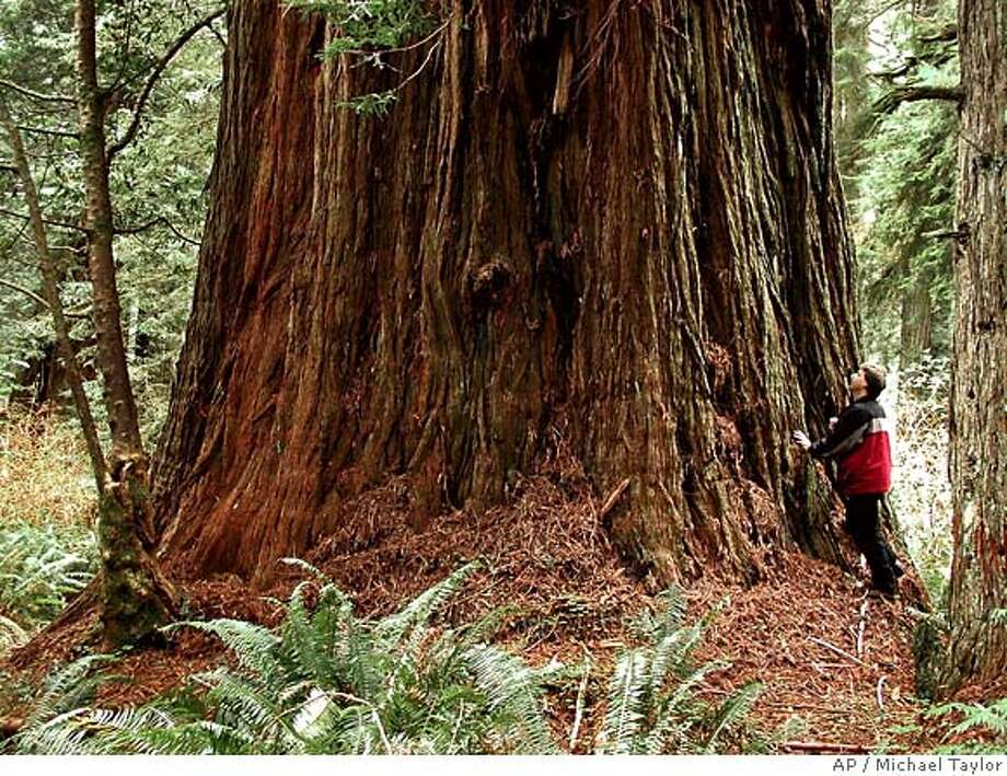 Michael Taylor stands under a huge coast redwood tree in this photo provided by Taylor at Prairie Creek Redwoods State Park near Orick, Caif., in 2000. Taylor is a big game hunter. But the prey he's spent more than half his life pursuing does not have legs or even a heartbeat. Instead, armed with a laser range finder, a head for math and an explorer's zeal, Taylor has made a sport of finding and sizing up the tallest species on the planet California's ancient coast redwoods. (AP Photo/Michael Taylor) Photo: Michael Taylor