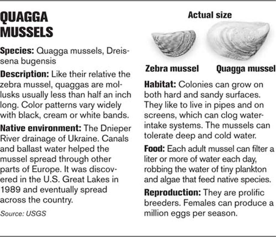 Quagga Mussels. Chronicle Graphic