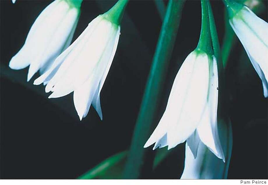 Wild onion flowers are bell shaped, with six white petals. Photo by Pam Peirce