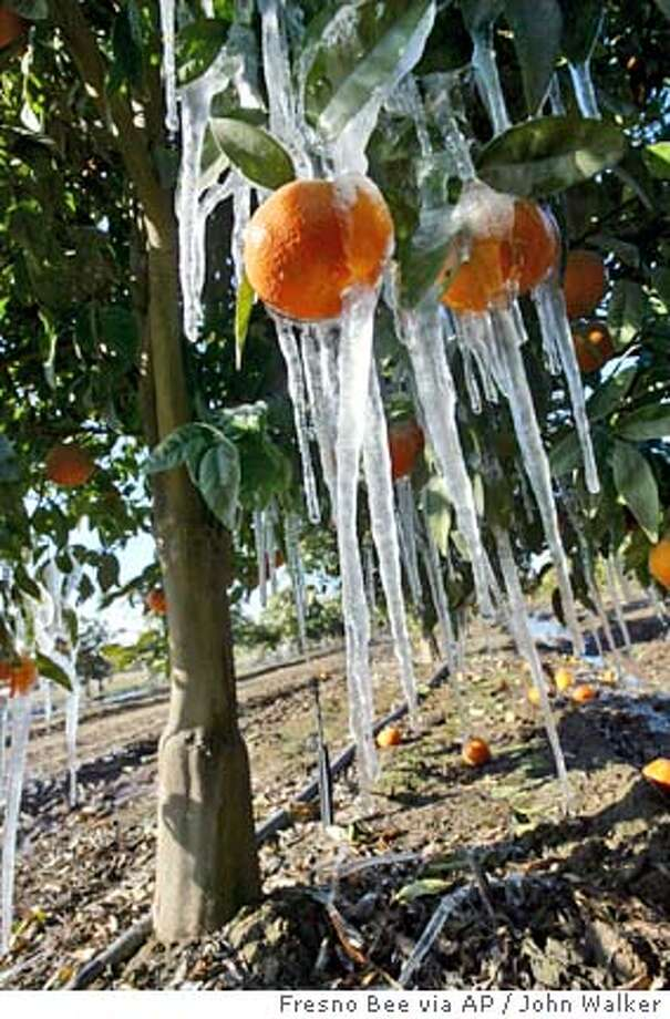 Icicles cling to tangerines in an irrigated grove is seen Saturday, Jan. 13, 2007, near Fresno, Calif. California's weather lurched from beach to ski in less than a week as an arctic blast Friday delivered rare snowfalls in low-lying southern cities and put the state's citrus industry on alert. (AP Photo/The Fresno Bee, John Walker) Photo: John Walker