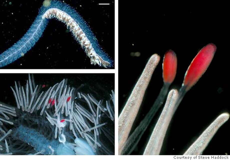 """These undated images released by """"Science"""" show an Erenna specimen, a deep sea relative of the jellyfish, found off the coast of California, and the first-know marine invertebrates to produce red luminescent light. Top left, the Erenna specimen; bottom left, a partial view showing the fluorescing appendages or tentilla; and right a further enlarged view of the red tentilla. (AP Photo/Courtesy of Steve Haddock, HO) UNDATED HANDOUT IMAGES RELEASED BY THE JOURNAL SCIENCE."""