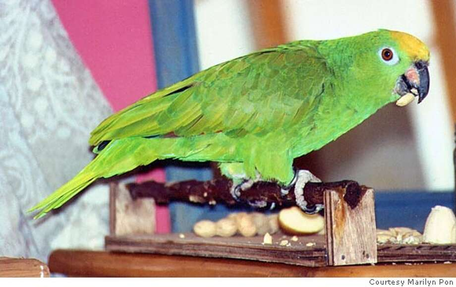 The free parrot of Prince Street. Credit: Courtesy Marilyn Pon Photo: Courtesy Marilyn Pon