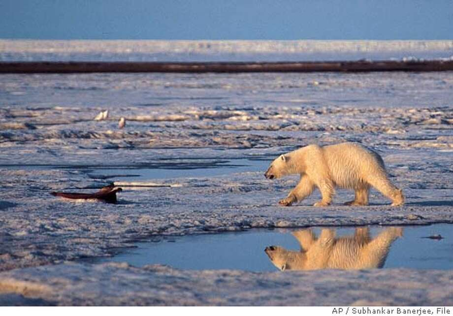 ** ADVANCE FOR SUNDAY, NOV. 14--FILE **This is an undated file photo of a polar bear taken in the Artic National Wildlife Refuge. Overall, Earth's climate has warmed by about a degree Fahrenheit since 1900. In the Arctic, where a number of processes amplify the warming effects of carbon dioxide, temperatures have risen four to seven degrees in the last 50 years. (AP Photo/Subhankar Banerjee/FILE) Ran on: 11-14-2004  Polar bears could become extinct by the end of the century if Arctic sea ice continues to melt as a result of global warming, scientists warn. Ran on: 02-07-2005  Rep. Richard Pombo, R-Tracy, has been a vocal advocate for oil drilling in a protected Alaska refuge. Ran on: 02-07-2005  Rep. Richard Pombo, R-Tracy, has been a vocal advocate for oil drilling in a protected Alaska refuge. Ran on: 02-07-2005  Rep. Richard Pombo, R-Tracy, has been a vocal advocate for oil drilling in a protected Alaska refuge. HFR 11-14094. ADVANCE FOR SUNDAY, NOV. 14. UNDATED FILE PHOTO. SALES MAGS OUT NO ARCHIVE Photo: SUBHANKAR BANERJEE