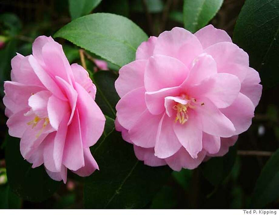 Caption: Camellia 'Nuccio's Carousel' Credit: Ted P. Kipping Photo: Ted P. Kipping