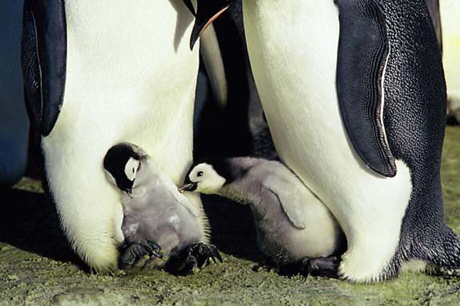 Penguins and their young from the documentary �March of the Penguins,�� opening Friday. Photo courtesy of Warner Bros.