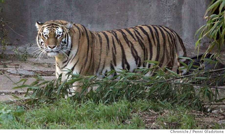 Tatiana a Siberian tiger at the SF Zoo.  Penni Gladstone / The Chronicle MANDATORY CREDIT FOR PHOTOG AND SF CHRONICLE/ -MAGS OUT Photo: Penni Gladstone