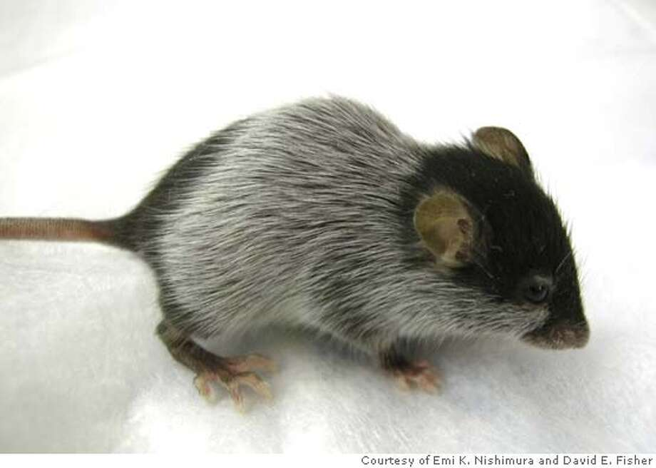 A Bcl2 null mouse 58 days after birth shows hair graying where the first hair has shed. Photo: Courtesy Of Emi K. Nishimura And