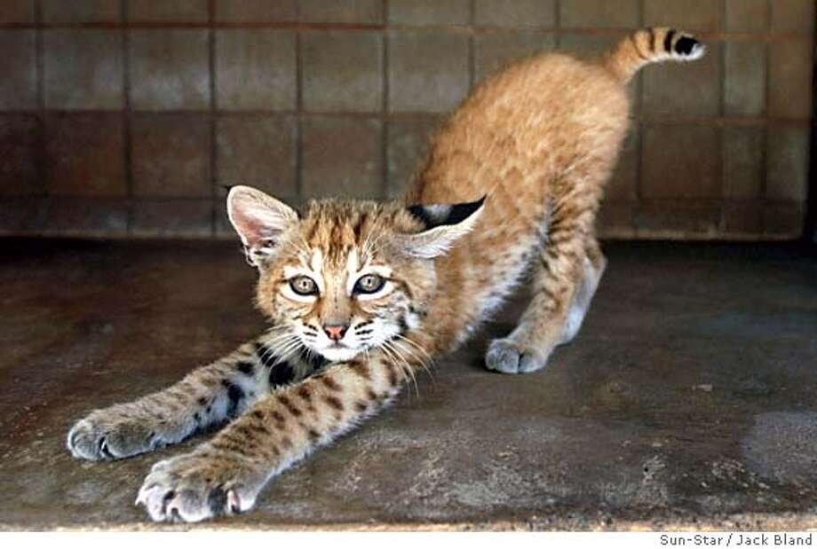University of California, Merced is adopting a unnamed 4-month-old bobcat and is raising money to go toward bettering his habitat at the Merced Zoo. The university�s first freshmen class will name the school mascot. Photo by Jack Bland/Sun-Star Photo: Jack Bland/Sun-Star