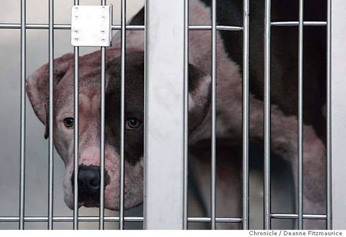A dog named Rex is brought in a cage to San Francisco Animal Care and Control after being found at the scene of a fatality where a boy named Nicholas Scott Faibish was mauled. San Francisco Chronicle/ Deanne Fitzmaurice