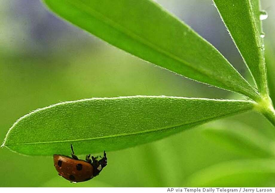 A ladybug hides under the canopy of a bluebonnet leaf as rain showers make they way through Central Texas, Wednesday, March, 24, 2004 in Temple, Texas. (AP Photo/ Temple Daily Telegram, Jerry Larson) You'll just have to wing this one {ndash} so to speak {ndash} no other caption info available, of course. I'll do my best to wheedle something better from the photo gang for 5s. STAND ALONE Photo: JERRY LARSON
