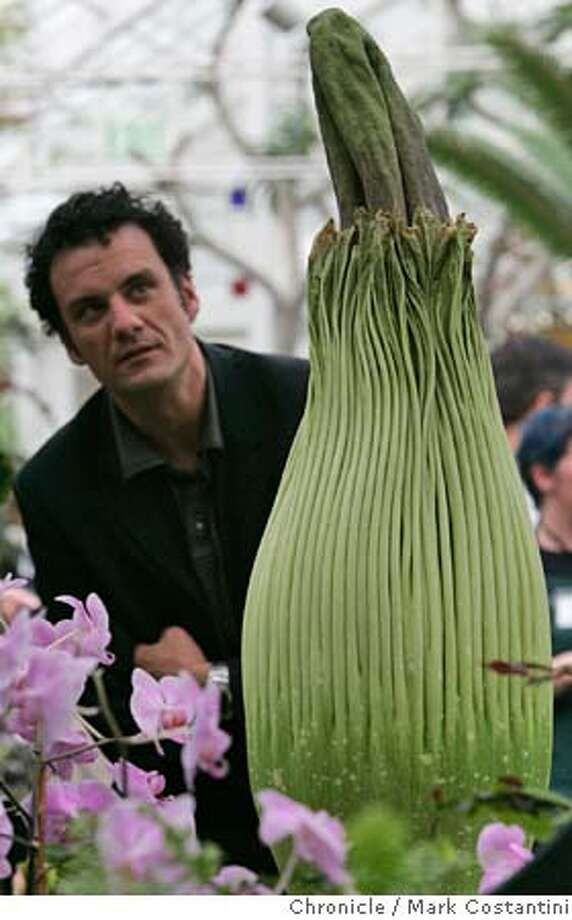 "flower28_057_mc.jpg  Visitor Sam Louis studies the flower.  An Amorphophallus titanum(cq) that will soon bloom at the Conservatory of Flowers. It's name is ""Ted"". Mark Costantini/San Francisco Chronicle MANDATORY CREDIT FOR PHOTOG AND SF CHRONICLE/ -MAGS OUT Photo: Mark Costantini"