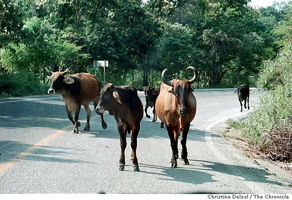 Cows trump cars on Michoacan's coast highway. Chronicle photo by Christine Delsol
